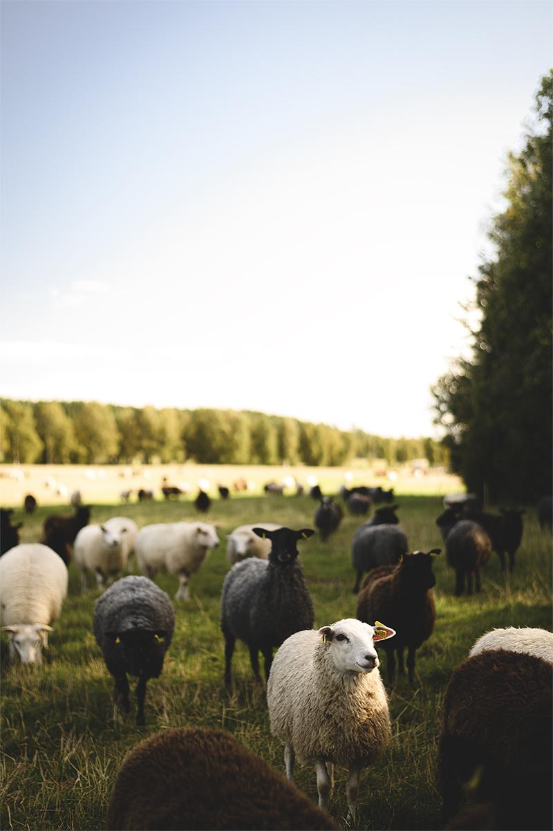 Lokalproducerat kött från får som går ute hela sommaren, det är en av Bergsåkersgårdens två verksamheter.