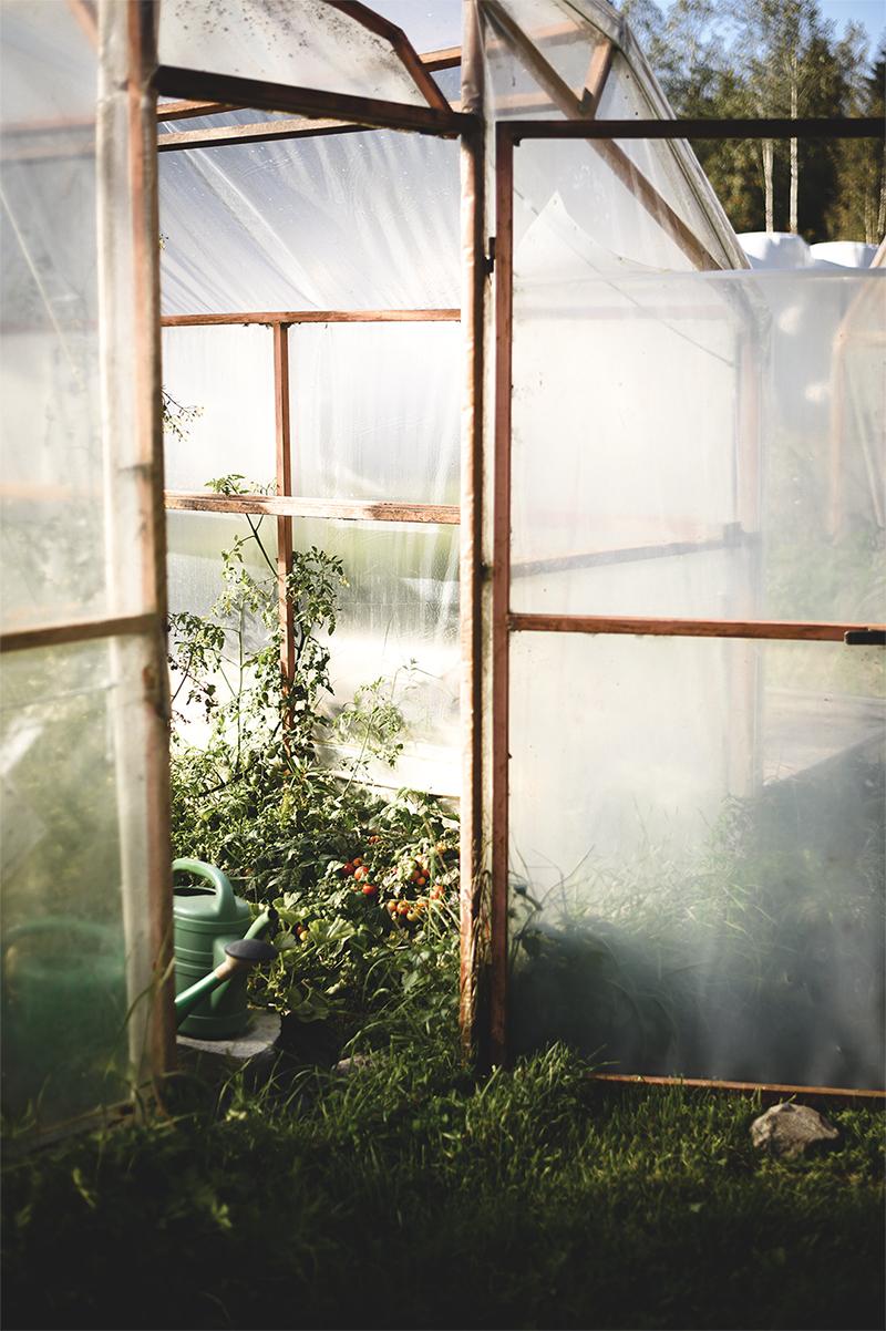 I det lilla växthuset odlar familjen några godsaker åt sig själva. Tomater, till exempel.