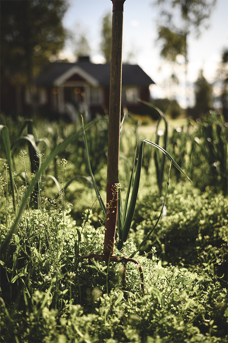 Få äter så lokalproducerat som familjen Berg. Purjolöken växer bokstavligen utanför dörren.