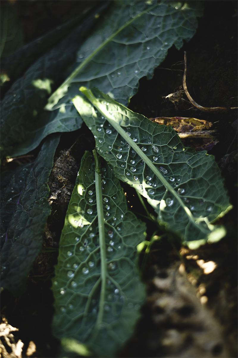 Allt lokalproducerat säljs inte – en del av det som rensas bort vid skörd får istället ligga kvar och bli näring till nästa sådd. Som de här grönkålsbladen.